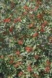 Mastyksowy drzewo Fotografia Stock