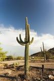 Masywnego Saguaro kaktusowa roślina w Arizona pustyni Obrazy Royalty Free