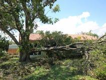 Masywny dębowy drzewny bagażnik spada po Huraganowego Irma zdjęcie royalty free