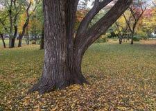 Masywny drzewny bagażnik w parku obrazy royalty free