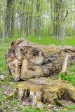 Masywny fiszorek i spadać drzewo obrazy royalty free