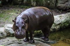 Masywny hipopotam widzieć w zoo fotografia stock