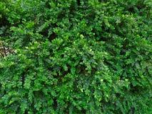 Masywny i zasadniczy Buxus Świezi zieleni buxus Buxus sempervirens zdjęcia royalty free
