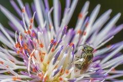 Masywny infestation bardzo mali czerwoni pająki z pszczołą ogląda scenę w kwiacie zdjęcia stock