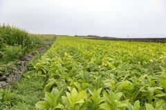 Masywny pole tytoń obraz stock