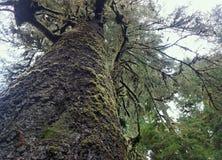 Masywny Sitka Świerkowy drzewo w przylądka Perpetua stanu parku zdjęcia stock