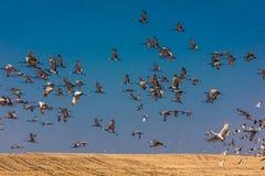 MASZERUJE 7, 2017, STANY ZJEDNOCZONE Emigracyjni Sandhill żurawie latają nad polem uprawnym przy wschodem słońca jako norma - Uro Obraz Royalty Free