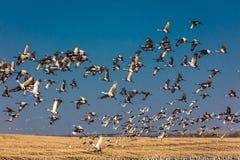 MASZERUJE 7, 2017, STANY ZJEDNOCZONE Emigracyjni Sandhill żurawie latają nad polem uprawnym przy wschodem słońca jako norma - Uro Zdjęcie Stock