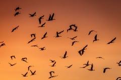 MASZERUJE 8, 2017, STANY ZJEDNOCZONE Emigracyjny wodny ptactwo i Sandhill żurawie są na ich wiośnie m - Uroczysta wyspa Nebraska, Zdjęcie Royalty Free