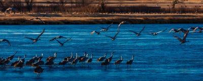 MASZERUJE 8, 2017, STANY ZJEDNOCZONE Emigracyjny wodny ptactwo i Sandhill żurawie są na ich wiośnie m - Uroczysta wyspa Nebraska, Obrazy Stock