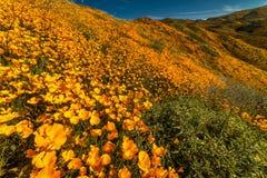 MASZERUJE 15, 2019 Super kwiatu Kalifornia maczk?w w piechura jarze na zewn?trz Jeziornego Elsinore, brzeg rzeki - jezioro ELSINO fotografia royalty free