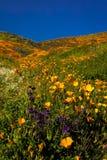 MASZERUJE 15, 2019 Super kwiatu Kalifornia maczk?w w piechura jarze na zewn?trz Jeziornego Elsinore, brzeg rzeki - jezioro ELSINO obraz stock