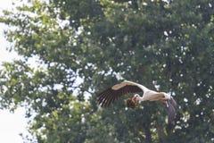Matériel de transport de cigogne pour le nid sur un fond des arbres Photos stock