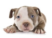 Matón americano del perrito foto de archivo