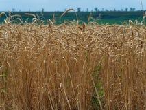 Mat för mat för guld- stort åkerbrukt korn för skörd för fältveteöron sädes- Royaltyfri Bild