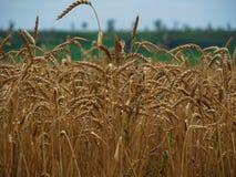 Mat för mat för guld- stort åkerbrukt korn för skörd för fältveteöron sädes- Royaltyfria Foton