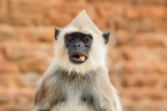 Mat i tysta ned Gemensam Langur, Semnopithecus entellus, apa med frukt i munnen, naturlivsmiljö, Sri Lanka Djurlivsce Royaltyfri Foto