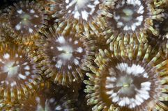 Mat Zoanthid. Macroshot of Mat Zoanthids(Zoanthus pulchellus). Zoanthids are Cnidarians(meaning they have stinging cells) similar to more well known anemones Royalty Free Stock Photo