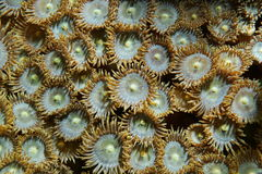 Mat zoanthids Zoanthus pulchellus close up Stock Photography