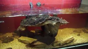 Mata mata η χελώνα, fimbriata Chelus κολυμπά στο ενυδρείο φιλμ μικρού μήκους