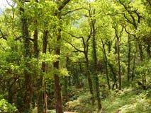 Mata da Albergaria, ein gut erhalten Eichenwald innerhalb Nationalparks Peneda-Gerês, Nord-Portugal lizenzfreies stockfoto