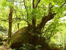 Mata da Albergaria, ein gut erhalten Eichenwald innerhalb Nationalparks Peneda-Gerês, Nord-Portugal stockfoto