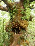 Mata da Albergaria, en väl bevarad ekskog inom den Peneda-Gerês nationalparken, nordliga Portugal Royaltyfri Bild