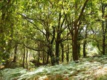 Mata da Albergaria, una foresta ben conservato della quercia all'interno del parco nazionale di Peneda-Gerês, Portogallo del Nor Fotografie Stock Libere da Diritti