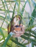 mata henne hummingbirdmoderbarn Royaltyfri Fotografi