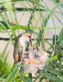 mata henne hummingbirdmoderbarn Arkivfoto