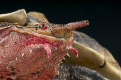 Mata mata/Chelus fimbriatus royaltyfri foto