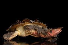 Mata mata, fimbriata Chelus στο απομονωμένο μαύρο υπόβαθρο στοκ εικόνα με δικαίωμα ελεύθερης χρήσης