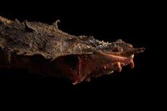 Mata Mata, fimbriata de Chelus en fondo negro aislado Fotografía de archivo libre de regalías