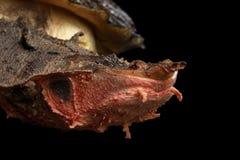 Mata Mata, fimbriata de Chelus en fondo negro aislado Imagen de archivo