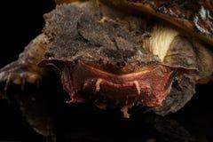 Mata mata, fimbriata di Chelus su fondo nero isolato Fotografie Stock Libere da Diritti