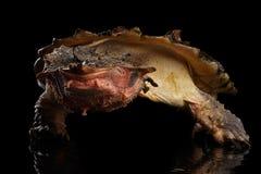 Mata mata, fimbriata di Chelus su fondo nero isolato Fotografia Stock