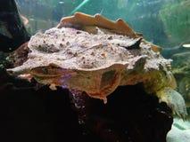 Mata mata sköldpadda som är längst ner av fiskbehållaren arkivbild