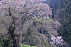 Matabee樱桃树在奈良 免版税库存照片