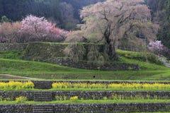 Matabee-Kirschbaum in Nara Lizenzfreie Stockbilder