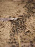 Matabele ants hunting termites. A large group of Matabele ants en route to hunt termites in Zambia Stock Photo