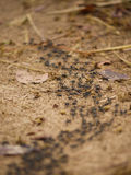 Matabele ants hunting termites. A large group of Matabele ants en route to hunt termites in Zambia Royalty Free Stock Images