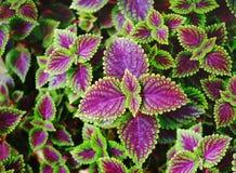 Matagal das folhas verdes e do roxo Fotografia de Stock