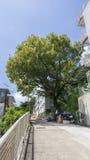 A matança do governo a árvore das pessoas de 100 anos Fotos de Stock Royalty Free