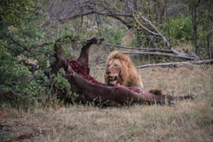 Matança masculina do búfalo comer do leão Fotos de Stock Royalty Free