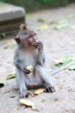 matande apa för banan Arkivbild