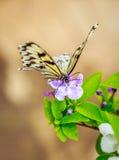 matande blomma för fjäril Royaltyfri Fotografi