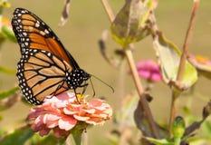 matande blomma för fjäril ursnygg monark arkivfoton