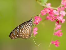 matande blommor för fjäril pink Arkivfoton