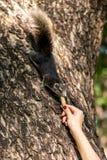 Matande ekorre för flicka Fotografering för Bildbyråer