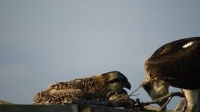 Matande fågelungar för fiskgjuse stock video